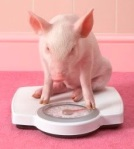 pig on scales